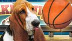 A basset and a basketball.