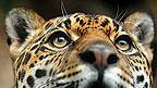 A leopard's face.