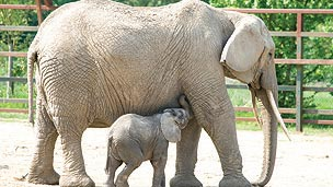 A baby elephant and its mother