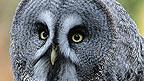 Close-up of an owl's face