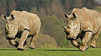 Two rhinos running across a field.