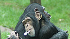 Two chimpanzees are hugging eachother, they both have pink flower petals in their mouths.