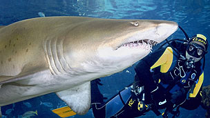 A large shark being watched by a diver.