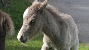 A small, grey baby Shetland pony foal.