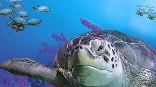 A turtle in the foreground and other sea creatures behind