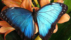 A neon blue butterfly with wings open on an orange flower.