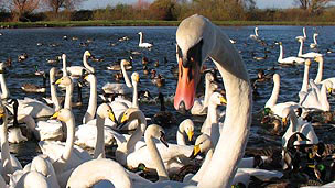 A large mute swan in the foreground with an array of swans and ducks behind.