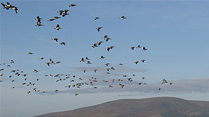 A large flock of birds flying against a dark blue sky.