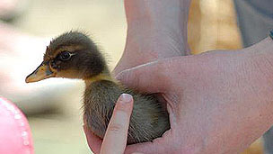 A baby duckling being held by a handler.