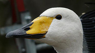 A close up of a Hooper swan, with a yellow and black beak.