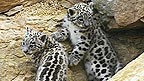 Two snow leopard cubs on rocks.
