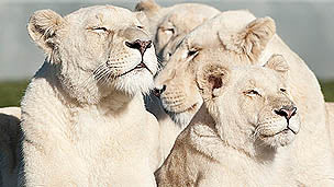 Four white, female lions basking in the sun
