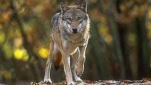 A large grey wolf in a forest