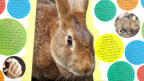 A rabbit with animal facts posters.