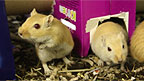 Gerbils playing in their new hotel.