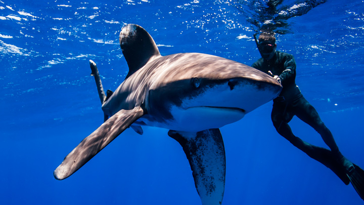 Steve Backshall swimming under water with a white tip shark.