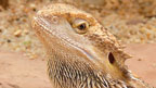 A bearded dragon.
