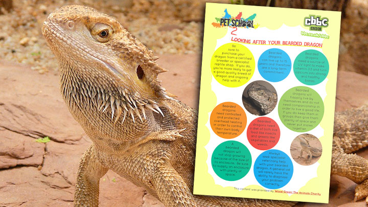 A bearded dragon next to the bearded dragon facts poster.