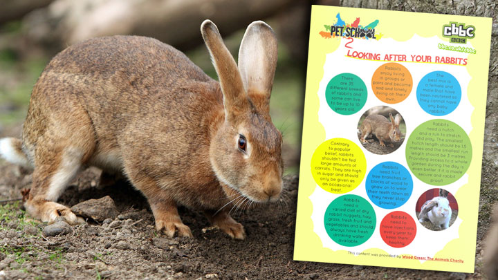 A rabbit next to the rabbit facts poster.