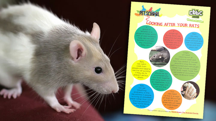 A rat next to the rat facts poster.