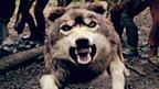 Jana's wolf.