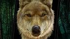 A wolf.