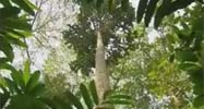a baka sacred tree standing in the Ngola Baka forest