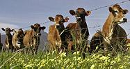 Cows near a road