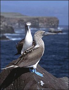 Atobás-de-pata-azul em Galápagos