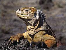 Iguana em Galápagos