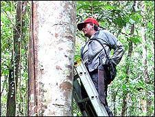 Abel Monteagudo midiendo un árbol de Cecropia Sciadophylla en Yanamono, Iquitos, Perú
