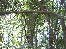 "Palmera Iriartea deltoidea o ""pona"" doblada por la sequía (Foto: gentileza Abel Monteagudo)"