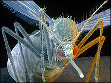 Mosquito de dengue