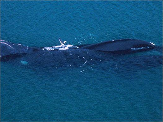 Gaviotas atacan ballenas en Argentina