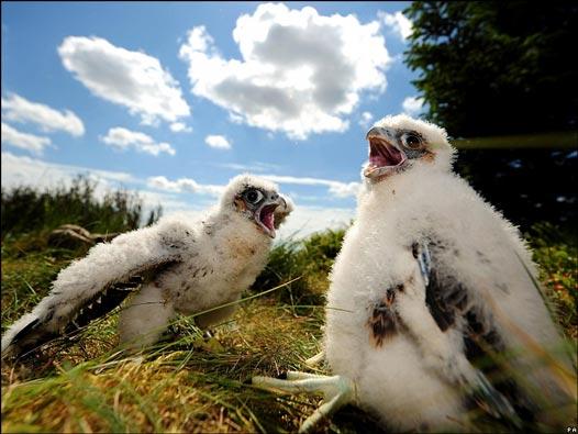 Resultado de imagen de pichones de halcón
