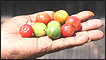 La mano de un agricultor con un puñado de acerolas, fruta rica en vitamina C