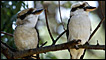 A pair of Australian kookaburras in a tree (AP Photo/Russell McPhedran)