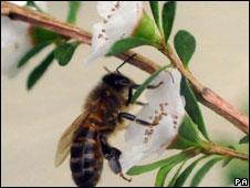 Abelha em flor de Manuka
