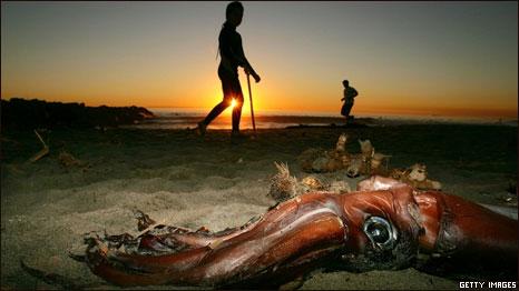 Дайверам Сан-Диего угрожают гигантские кальмары.