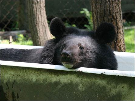Медведь в ванне