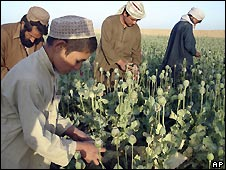 Agricultores afganos cultivando amapola