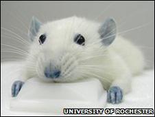 Ratones tratados con BBG.