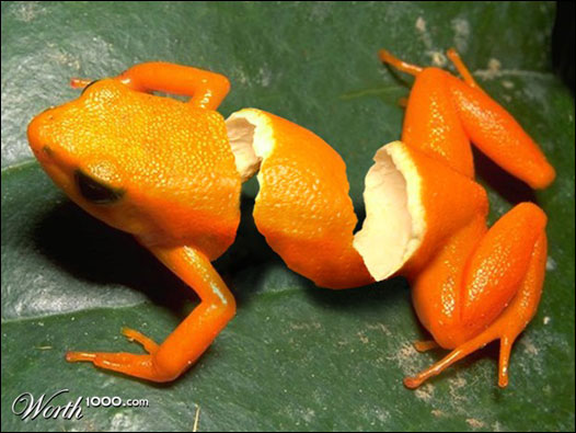 Sapo laranja