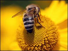 Мобільні телефони вбивають бджіл та