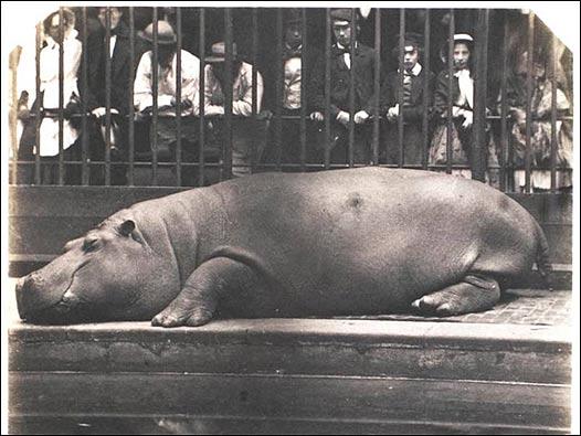 Obaysch, primer hipopótamo de Londres