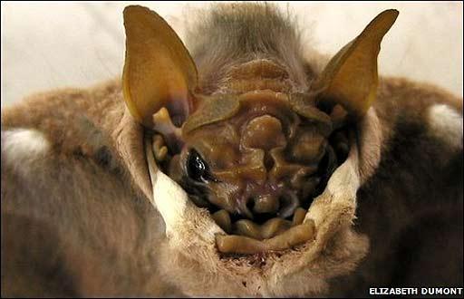El murciélago Centurio senex