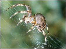 Araña tejiendo telaraña.