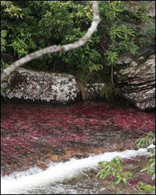 Caño Cristales es famoso por sus aguas color rosa.
