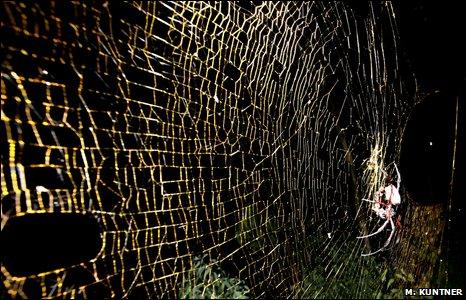Самки Nephila komaci могут плести паутину в метр диаметром