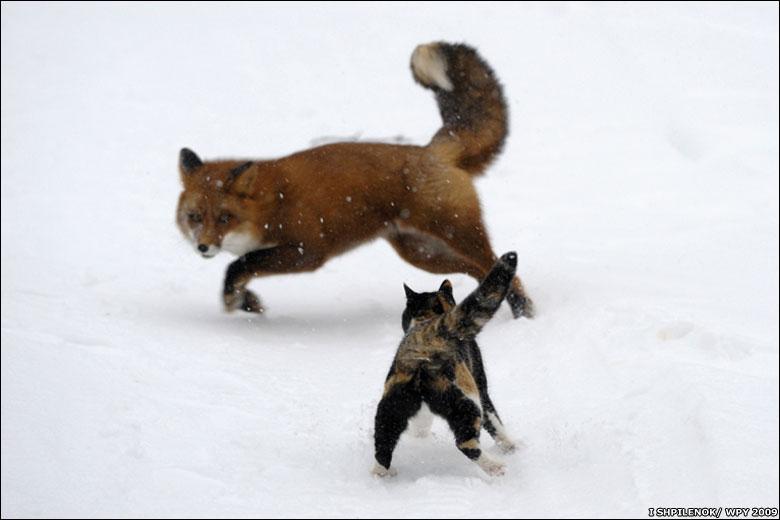 Котэ ..... - Страница 4 091022135916_cat_fox_large